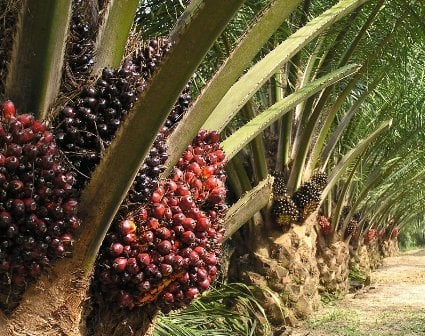 Resuscitating Palm Plantations in Enugu State - The Nigerian Voice