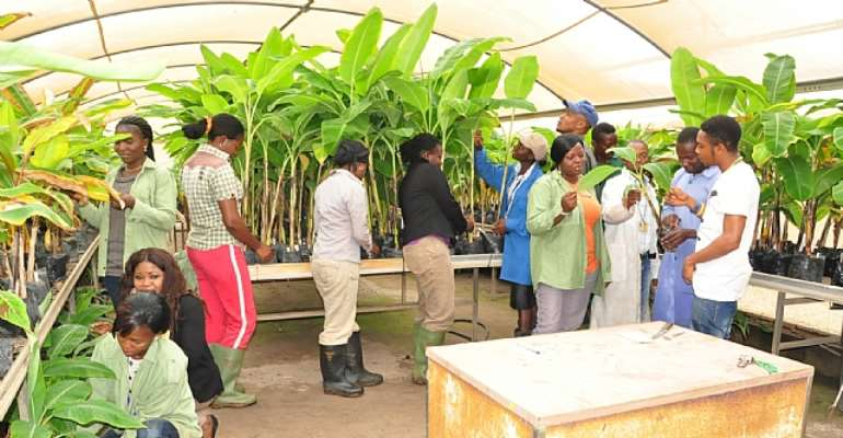 IITA Youth Agripreneurs in their banana-plantain multiplication chamber in IITA